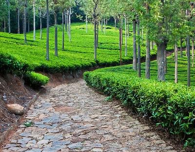 Tea plantation road